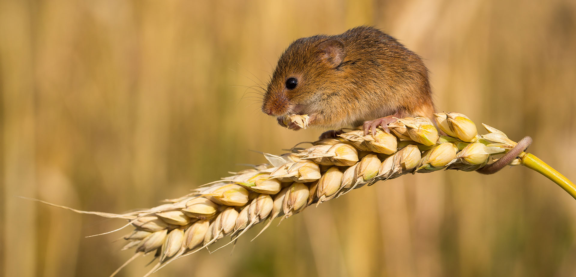 Harvest Mice Australian mice plague grain season